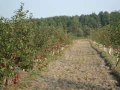 Продаётся яблоневый сад